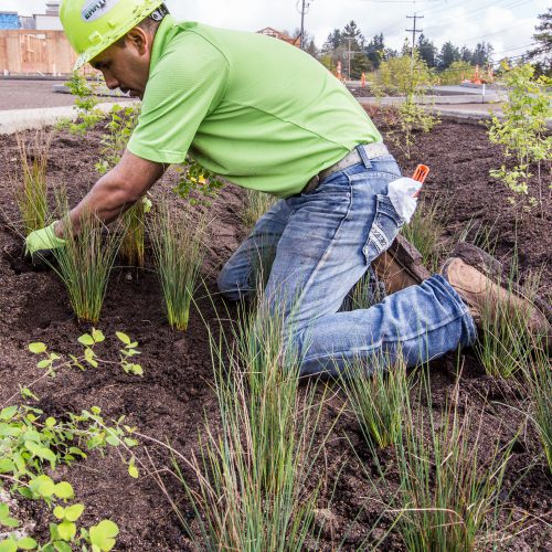 Landscaper planting by a storm drain at Capitol Manor, Oregon. Photo by Lori Cegon. Landscaping by Earth Tech Solutions